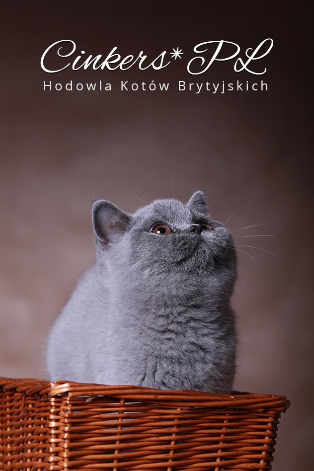 Cinkers*PL Hodowla Kotów Brytyjskich Nowy Sącz
