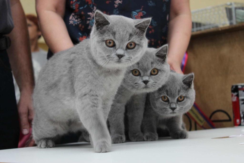 Najlepszy Miot Cinkers na Międzynarodowej wystawie kotów rasowych we Wrocławiu
